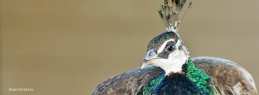 c0001-Queensland Peacock