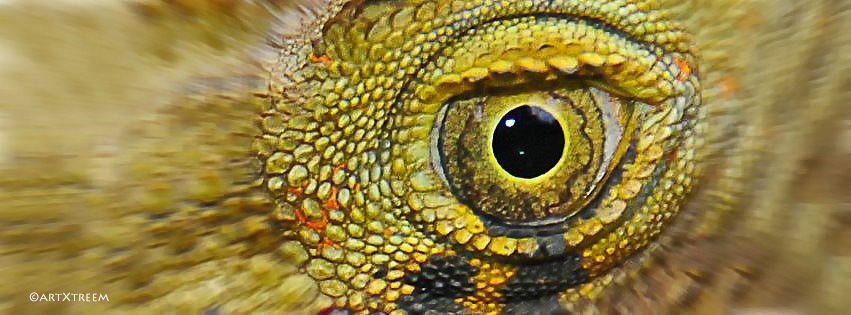 c0002-Australian Green Iguana Eye