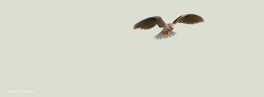 c0003-Black Shouldered Kite Hovering