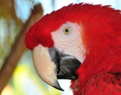 c0000-Red Macaw