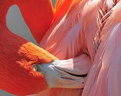 c0011-Flamingo