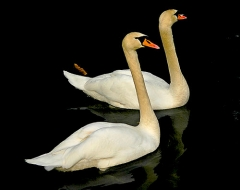 Australian Swans