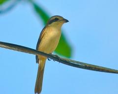 Philippine Kingfisher