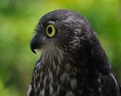Australian Barking Owl