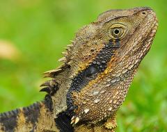 an00010-Australian Green Lizard