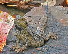an00014-Lizard