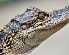 an00016-Australian Baby Croc