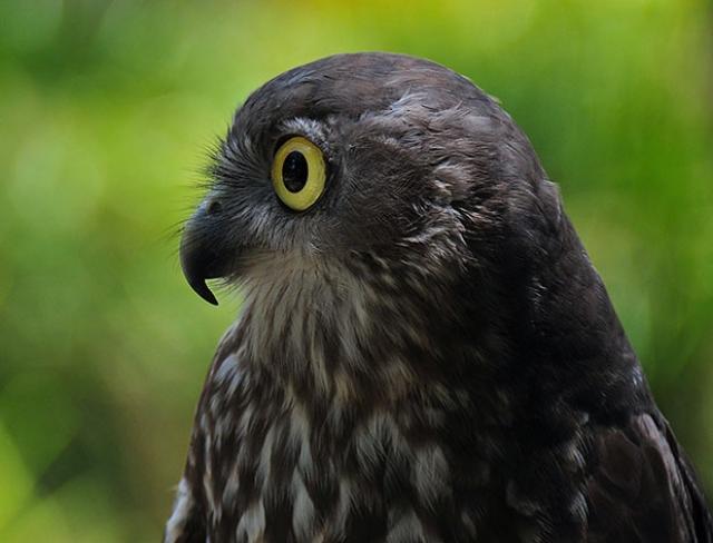 b0064-Australian Owl