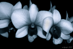 Orchids BW